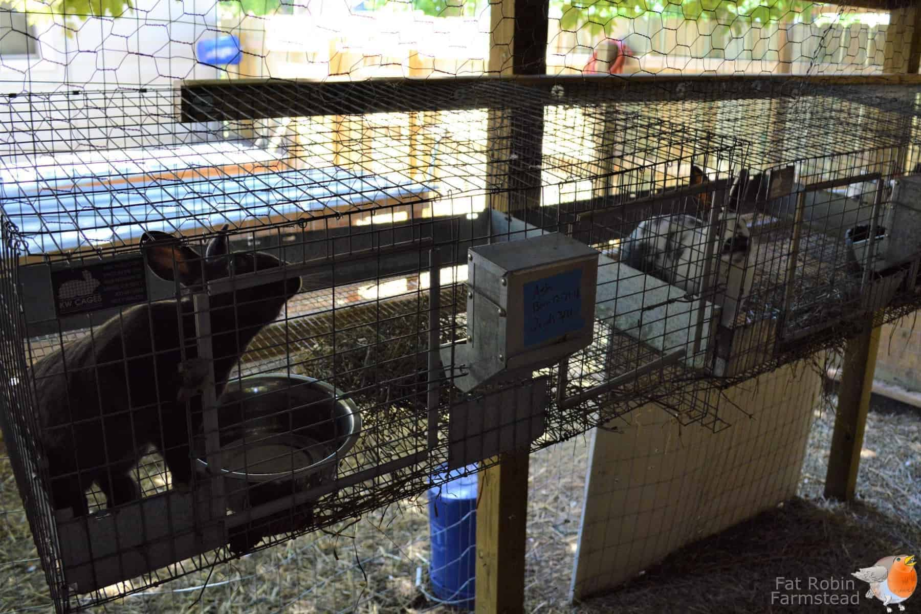 meat rabbits truths no homesteading article tells you northwest