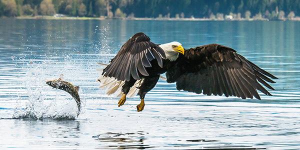 Bald Eagle National Wildlife Federation