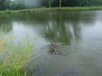 tn_ducks012