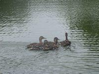 tn_ducks014