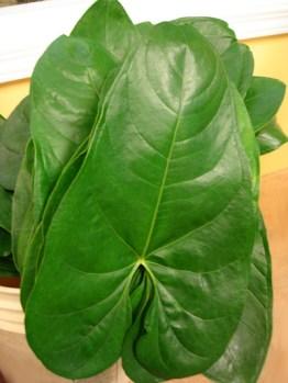 Anthurium Leaves