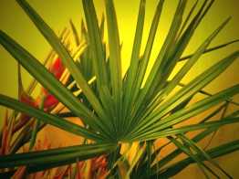 Palm (Raphis)