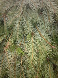 Douglas Fir Bough