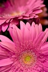 Hot Pink Standard