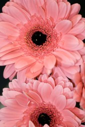 Pink Standard