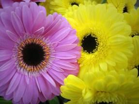 Pinks & Yellows