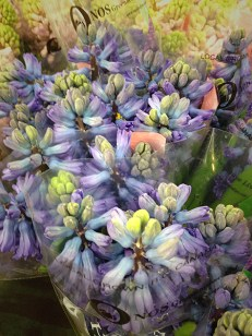 images_fresh_hyacinth_canada_purple