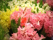 images_fresh_hyacinth_pink