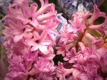images_fresh_hyacinth_pink_3