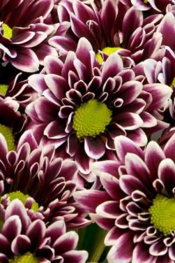 Purple (Orinoco)