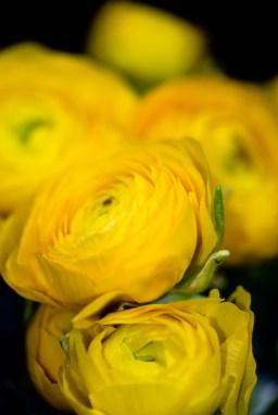images_fresh_ranunculus_yellow