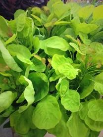 Smokebush (Green)