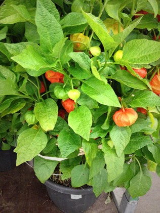 Large Potted Chinese Lantern