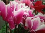 """6"""" Pink & White"""