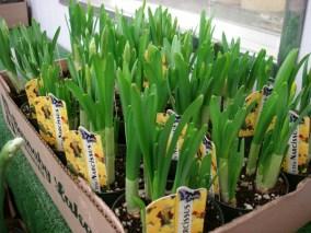 "Daffodils 4"""