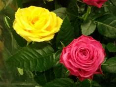 Yellow/Pink