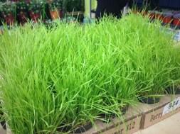 Wheat Grass *