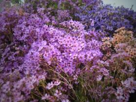Assorted Waxflower