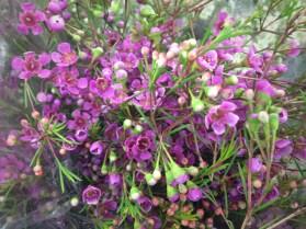 Purple Waxflower