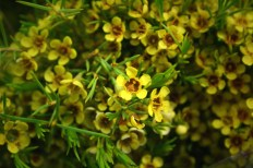 Yellow Waxflower