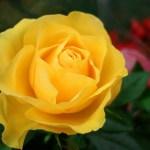 Roses (Mini)