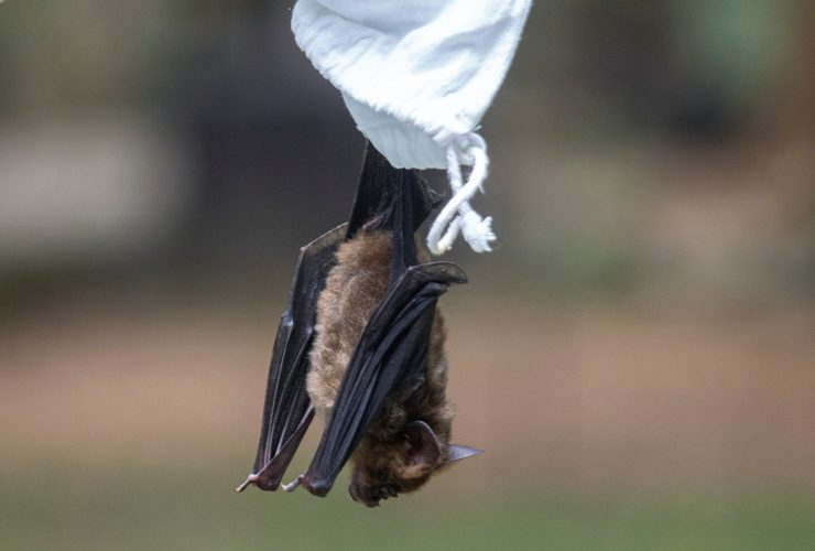 A bat hanging upside-down