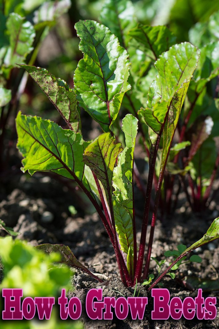 How to Grow Beets