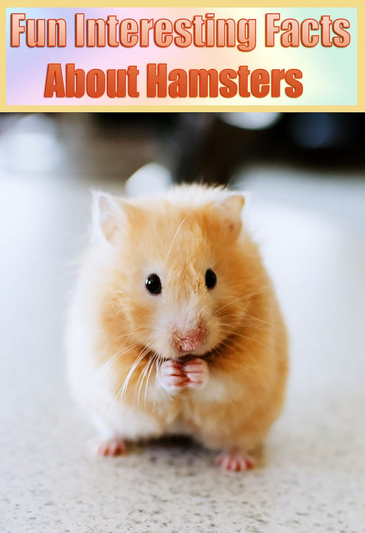 Fun Interesting Facts About Hamsters