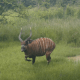 A rare Bongo seen in South Sudan forest( Photo credit: FFI & Bucknell University)