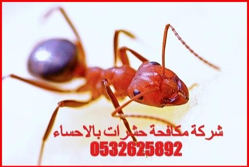 شركة مكافحة حشرات بالاحساء 0532625892 مكافحة النمل الابض والقضاء علي البق والدفان
