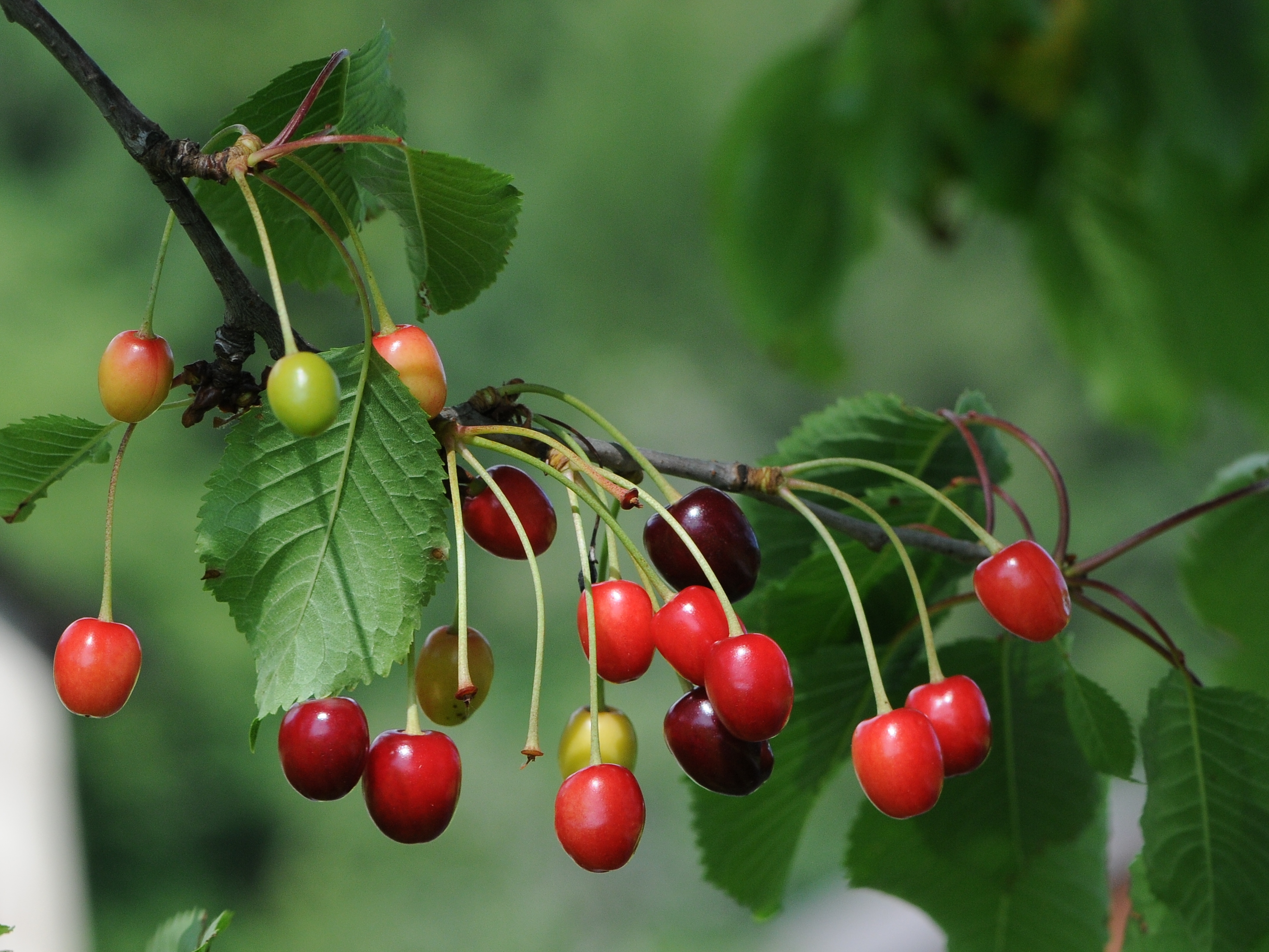Morello Cherry – Prunus Cerasus