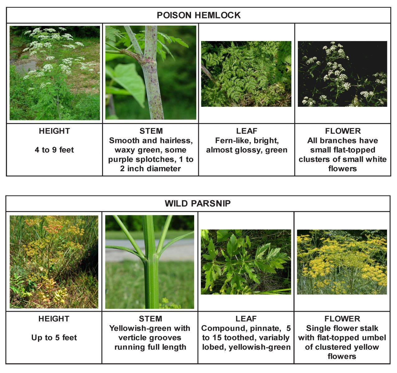 Giant Hogweed New York Invasive Species Information
