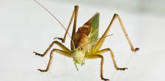 Kotkassa hyönteisruokaa