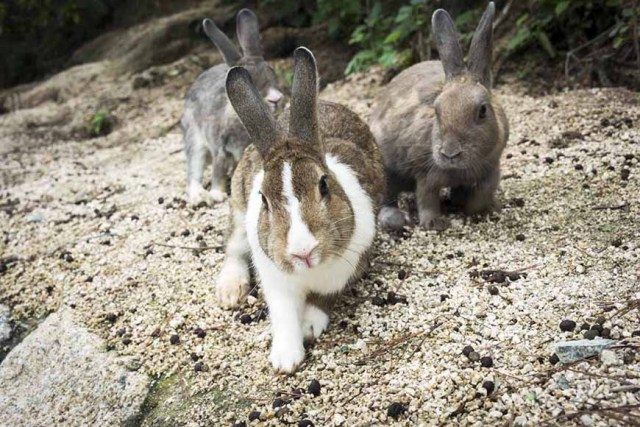 BEST TOWNS, CITIES, PREFECTURES AND VILLAGES TO VISIT IN JAPAN - Okunoshima