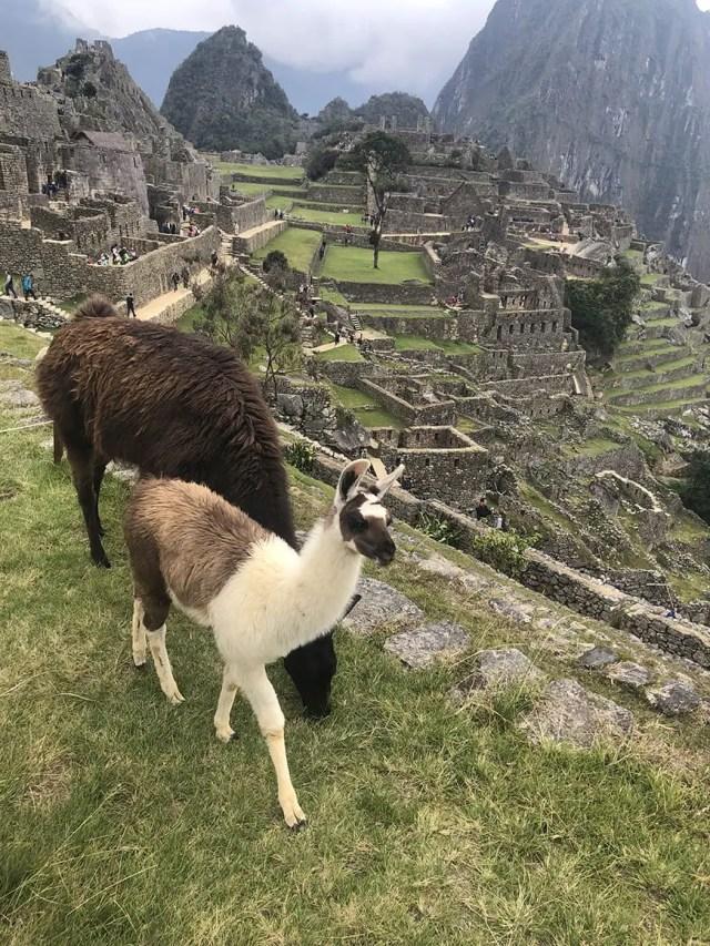 Planning a trip to machu picchu- 2 days 1 night tour from Cusco llamas