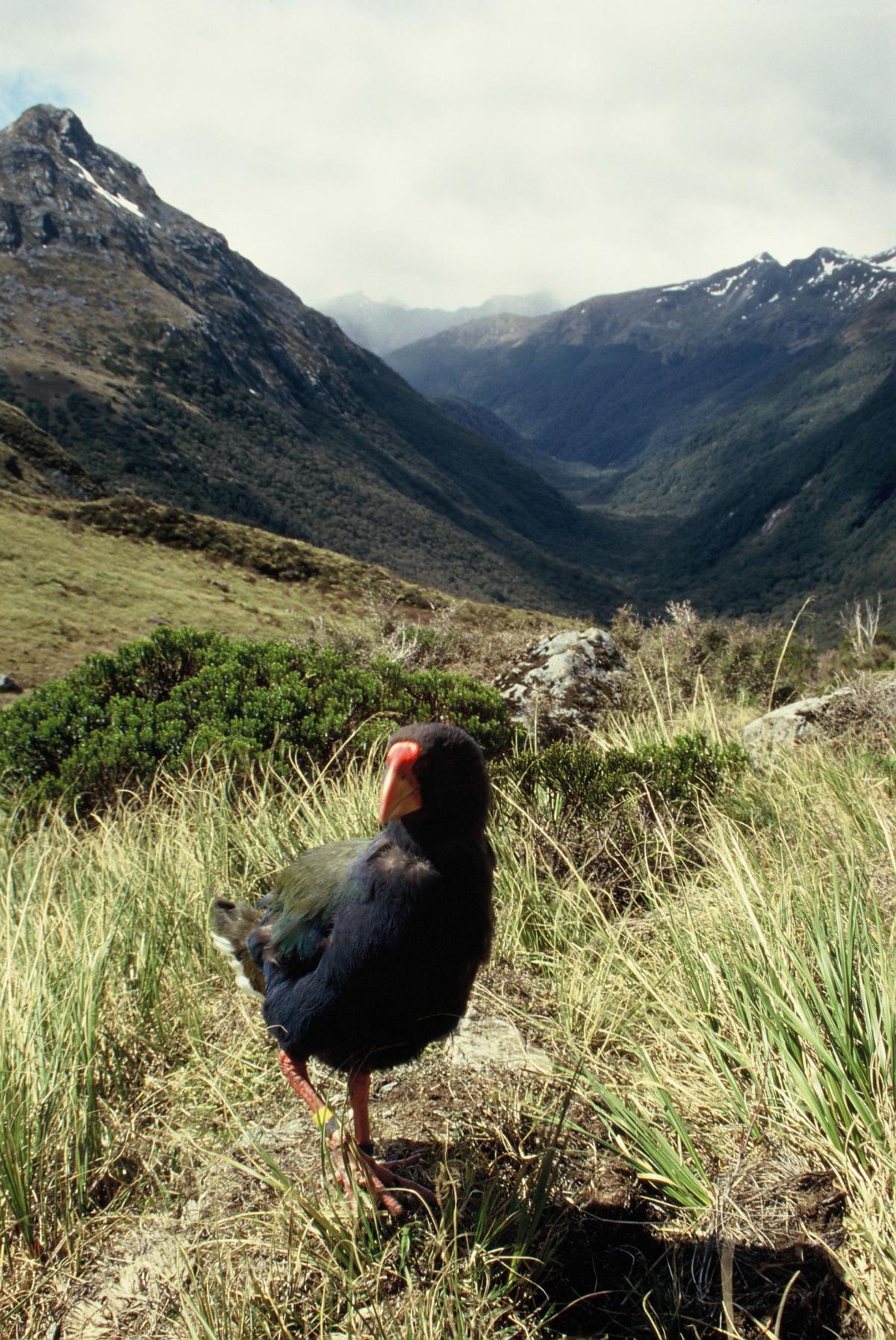 South Island Takahe