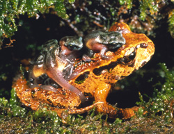 Image result for pics of archey's frogs