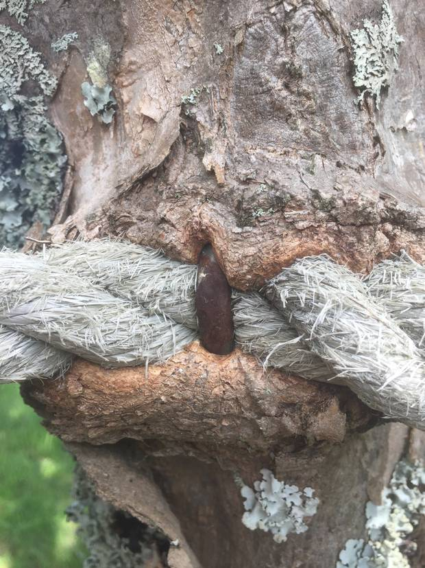 The rope embedded in the tree.