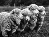 NZ's first sheep released