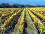 NZ's first grape vines planted?