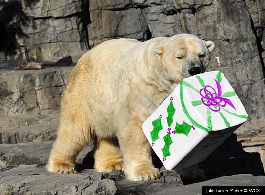 Oso Polar con regalo - Bronx © Julie Larsen Maher/WCS