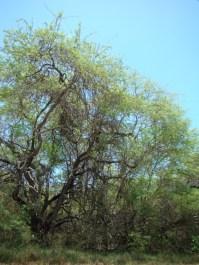 Cryptostegia grandiflora 3
