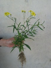 Grows upright to 20 inches.
