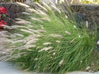 Fountain Grass (1)
