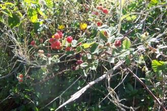 Blackberry : Rubus Discolor (RubDis)