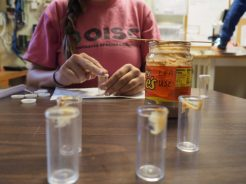 Prepping vials baited with peanut butter for early detection of little fire ants.