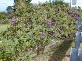 Glory bush can grow to 13 feet in height. (Photo: Forest & Kjm Starr)