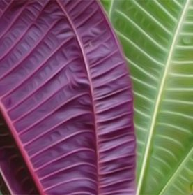 Miconia leaves