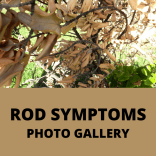Slideshow of symptomatic ʻōhiʻa trees. These symptoms can be caused by a variety of issues. ROD can only be confirmed by a lab test of the wood.