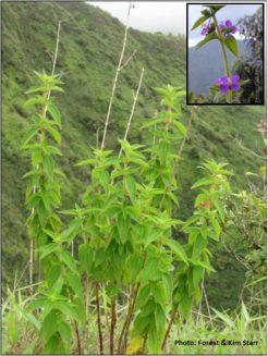 Habit: semi-woody, erect shrub.